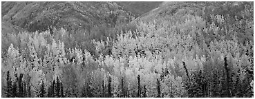 Mosaic of aspens in various color shades. Wrangell-St Elias National Park (Panoramic black and white)