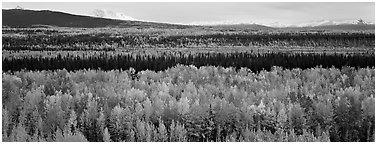Valley with aspen trees in autumn. Wrangell-St Elias National Park (Panoramic black and white)