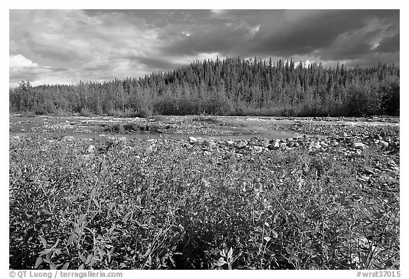 Fireweed along river. Wrangell-St Elias National Park (black and white)