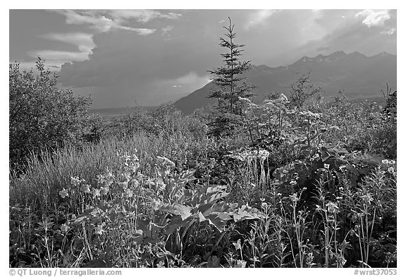 Wildflowers and mountains near Kennicott. Wrangell-St Elias National Park (black and white)
