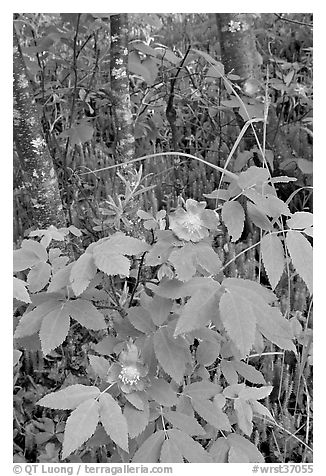 Wild Rose and tree trunks. Wrangell-St Elias National Park (black and white)