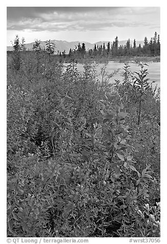 Fireweed near an arm of the Kennicott River, sunset. Wrangell-St Elias National Park (black and white)