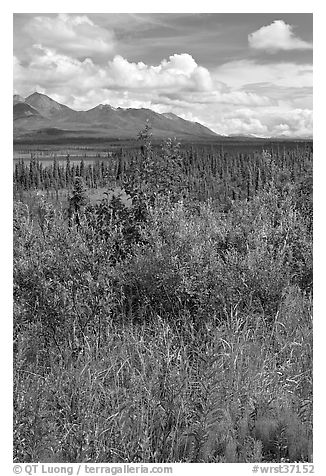 Fireweed, tundra, and Mentasta Mountains. Wrangell-St Elias National Park (black and white)