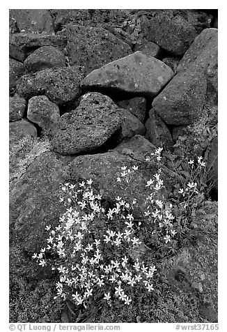 Alpine flowers and volcanic boulders. Wrangell-St Elias National Park (black and white)