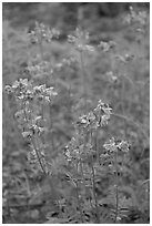 Blue wildflowers. Wrangell-St Elias National Park ( black and white)