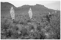 Yucas in bloom. Big Bend National Park ( black and white)