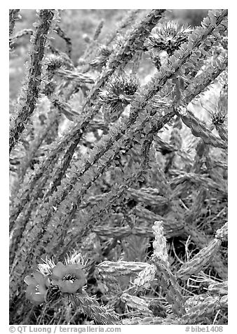Occatillo and beavertail cactus in bloom. Big Bend National Park (black and white)