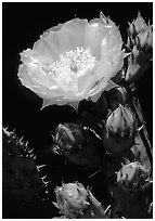 Pickly pear cactus flower. Big Bend National Park ( black and white)