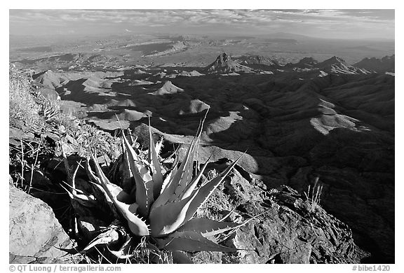 Agaves on South Rim, evening. Big Bend National Park (black and white)