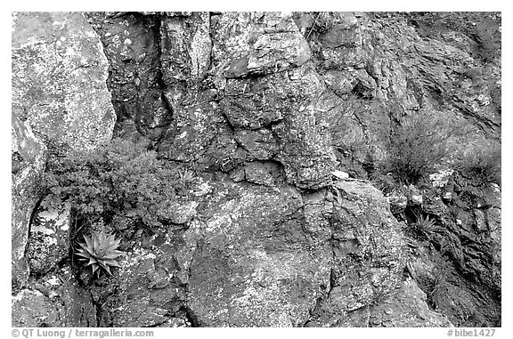 Agave growing on cliff, South Rim. Big Bend National Park (black and white)