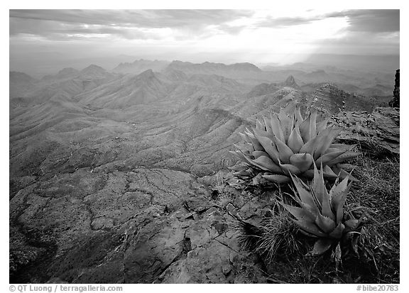 Agave plants overlooking desert mountains from South Rim. Big Bend National Park (black and white)