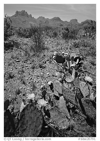 Cactus with yellow blooms and Chisos Mountains. Big Bend National Park (black and white)