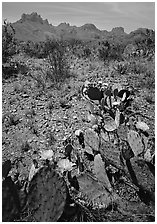 Cactus with yellow blooms and Chisos Mountains. Big Bend National Park, Texas, USA. (black and white)