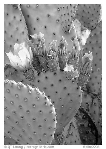 Beavertail cactus in bloom. Big Bend National Park (black and white)