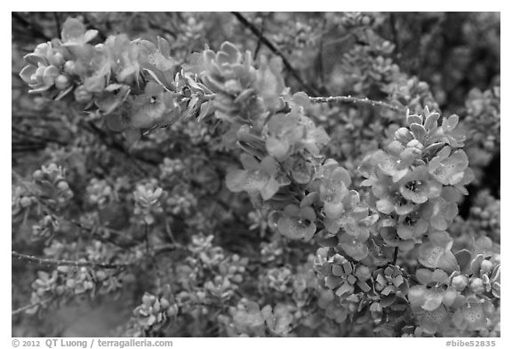 Siverleaf flowers close-up. Big Bend National Park (black and white)