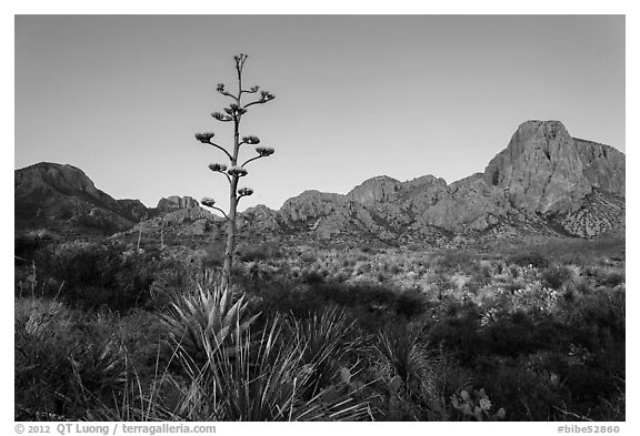 Century plant and bloom and Chisos Mountains at sunrise. Big Bend National Park (black and white)