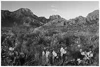 Cacti and Chisos Mountains at sunrise. Big Bend National Park ( black and white)