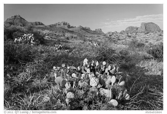 Cactus and Chisos Mountains. Big Bend National Park (black and white)