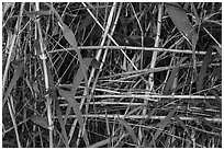 Bamboo close-up. Big Bend National Park, Texas, USA. (black and white)