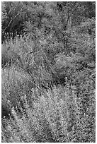 Oasis vegetation, Dugout Wells. Big Bend National Park, Texas, USA. (black and white)