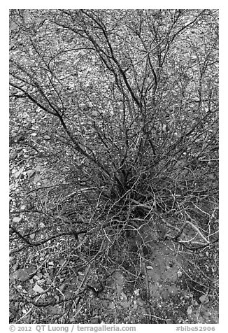 Creosote bush, most drought tolerant perennial in North America. Big Bend National Park (black and white)