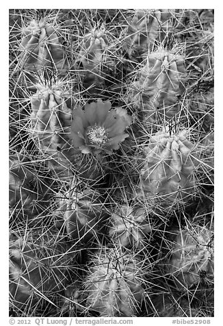 Close-up of pink cactus flower. Big Bend National Park (black and white)
