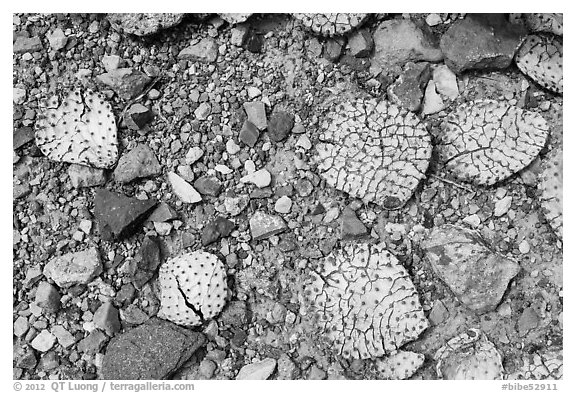 Desicatted cactus leaves on desert floor. Big Bend National Park (black and white)