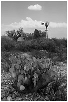 Cactus, windmill, and cottonwoods, Dugout Wells. Big Bend National Park, Texas, USA. (black and white)