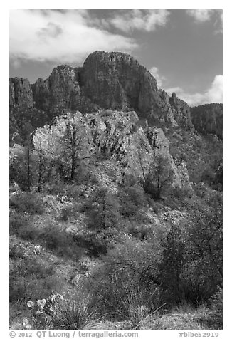 Pine trees, Chisos Mountains. Big Bend National Park (black and white)