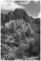 Pine trees, Chisos Mountains. Big Bend National Park ( black and white)