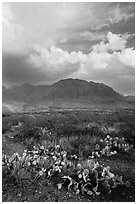 Cactus, Chisos Mountains, and clearing storm. Big Bend National Park, Texas, USA. (black and white)