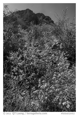 Siverleaf with purple flowers. Big Bend National Park (black and white)