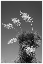 Blooming yucca. Big Bend National Park, Texas, USA. (black and white)