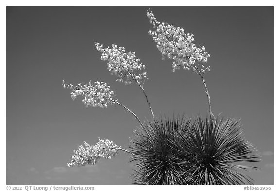 Cluster of yucca blooms. Big Bend National Park (black and white)
