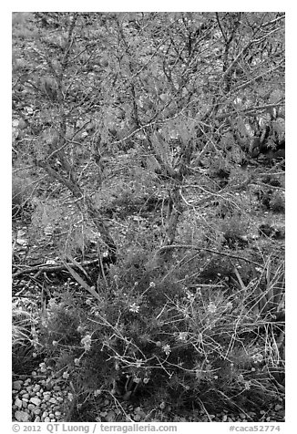 Wildflowers and shrubs. Carlsbad Caverns National Park (black and white)