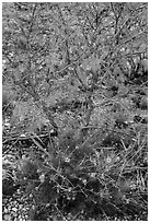 Wildflowers and shrubs. Carlsbad Caverns National Park, New Mexico, USA. (black and white)
