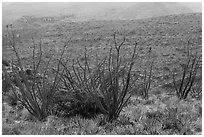 Ocotillos and slopes, Rattlesnake Canyon. Carlsbad Caverns National Park, New Mexico, USA. (black and white)