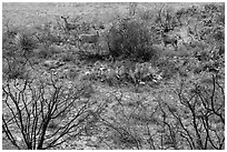 Deer in desert landscape. Carlsbad Caverns National Park ( black and white)
