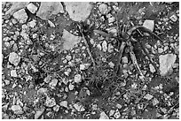 Close-up of flowers and burned desert plants. Carlsbad Caverns National Park, New Mexico, USA. (black and white)