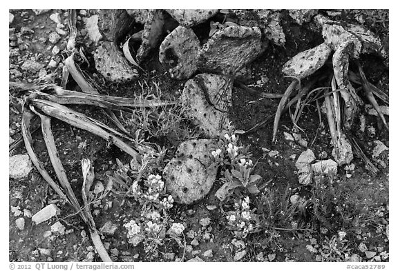 Close-up of flowers and burned cactus. Carlsbad Caverns National Park (black and white)