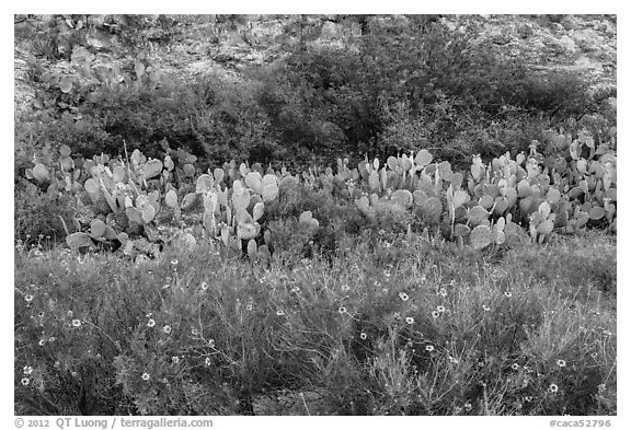Wildflowers, prickly pear cactus, and rock wall. Carlsbad Caverns National Park (black and white)