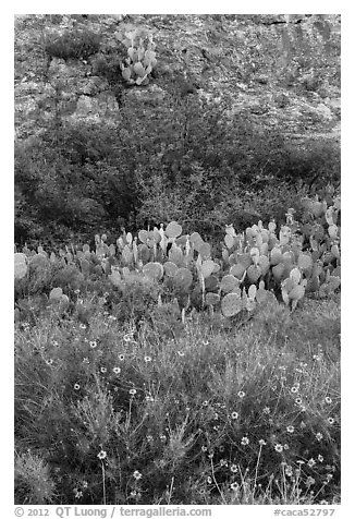 Wildflowers, cactus, shrubs, and rock. Carlsbad Caverns National Park (black and white)