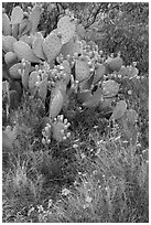 Close-up of annuals and cactus. Carlsbad Caverns National Park, New Mexico, USA. (black and white)