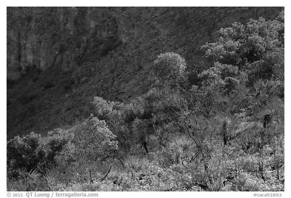 Desert shrubs and trees, Walnut Canyon. Carlsbad Caverns National Park (black and white)