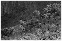 Desert shrubs and trees, Walnut Canyon. Carlsbad Caverns National Park ( black and white)