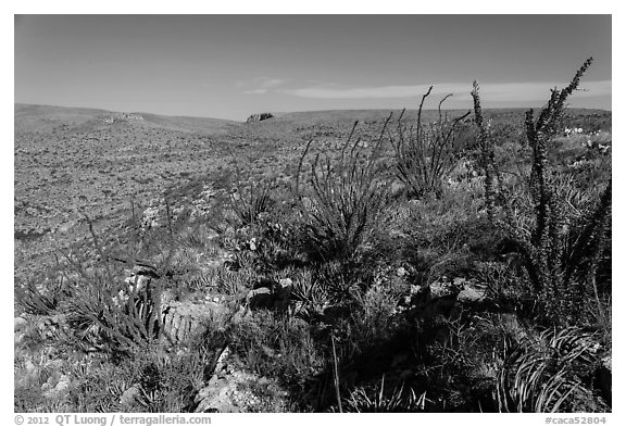 Chihuahan Desert landscape with ocotillos. Carlsbad Caverns National Park (black and white)