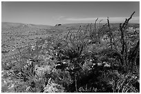 Chihuahan Desert landscape with ocotillos. Carlsbad Caverns National Park, New Mexico, USA. (black and white)