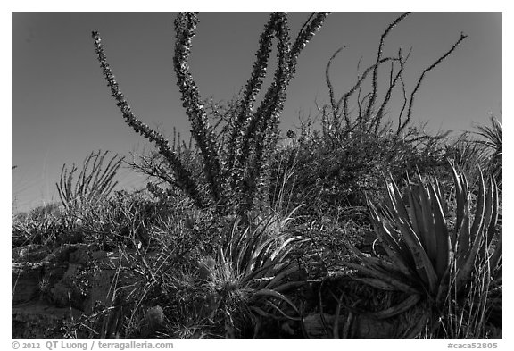 Flowering cactus and  ocotillos. Carlsbad Caverns National Park (black and white)