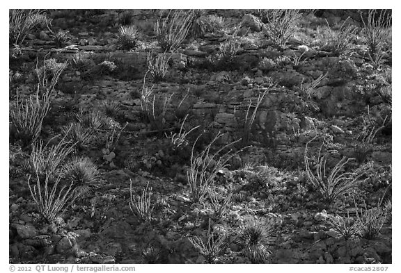 ocotillos on slope. Carlsbad Caverns National Park (black and white)