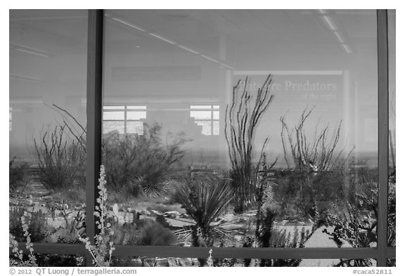 Ocotillos, yuccas and cactus, visitor center window reflexion. Carlsbad Caverns National Park (black and white)